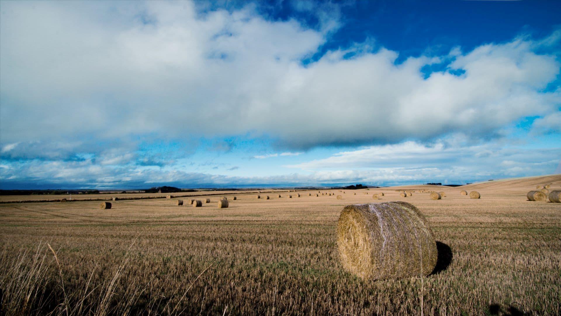 ballantines barley field